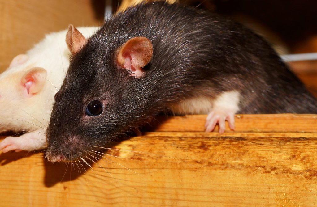 Seoul Virus Infections in Pet Rats and Humans