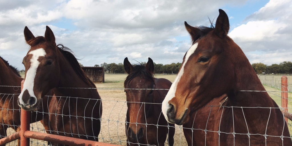 horses looking over a fence