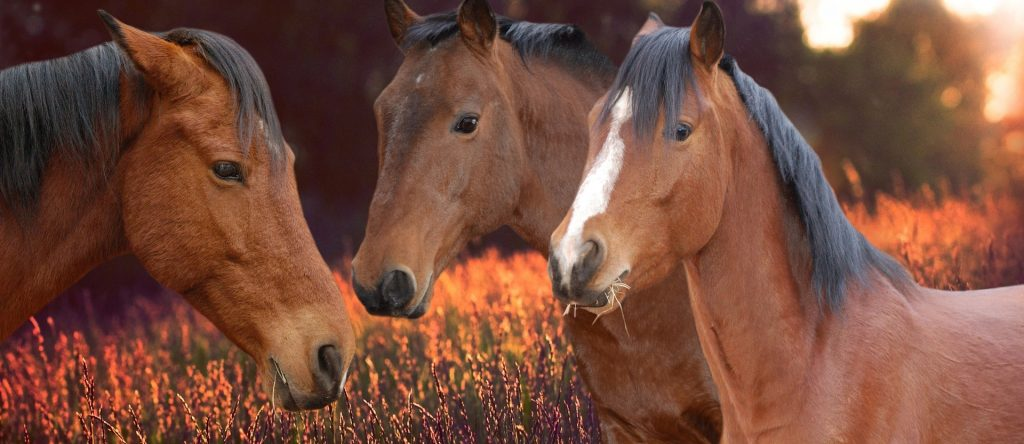 Three brown horses in front of orange flowers