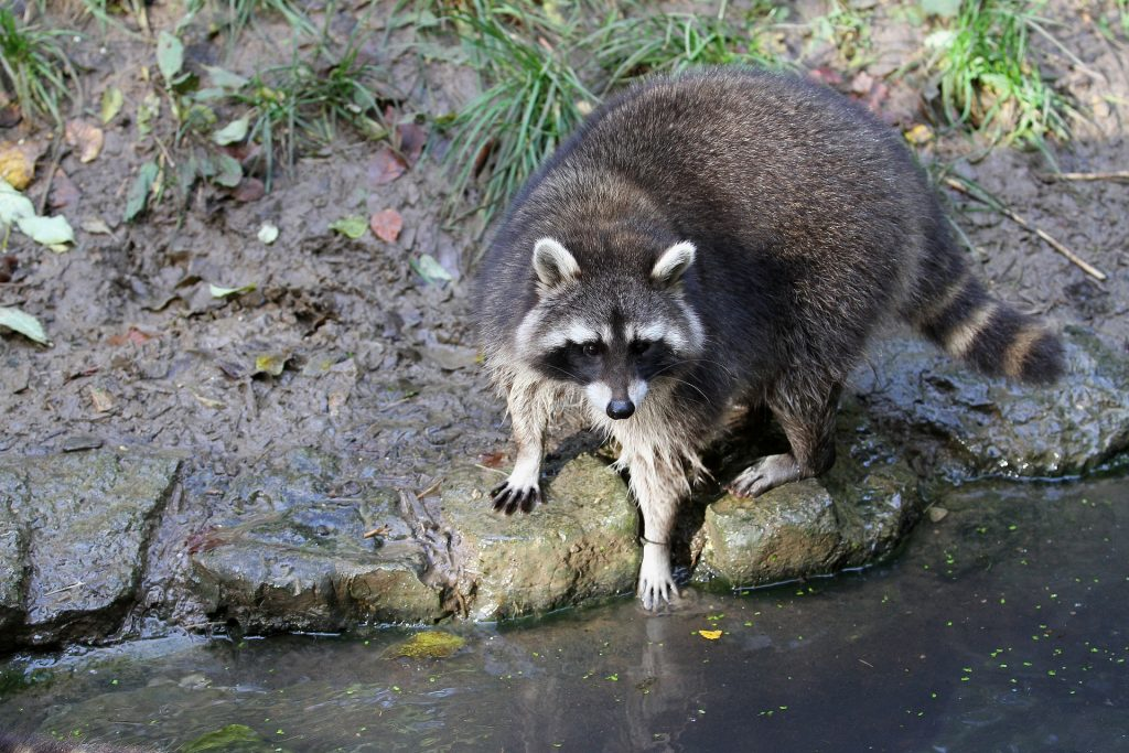 raccoon on a muddy bank of a river