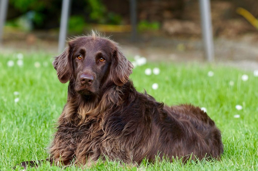 Brown dog lying in grass looking at camera