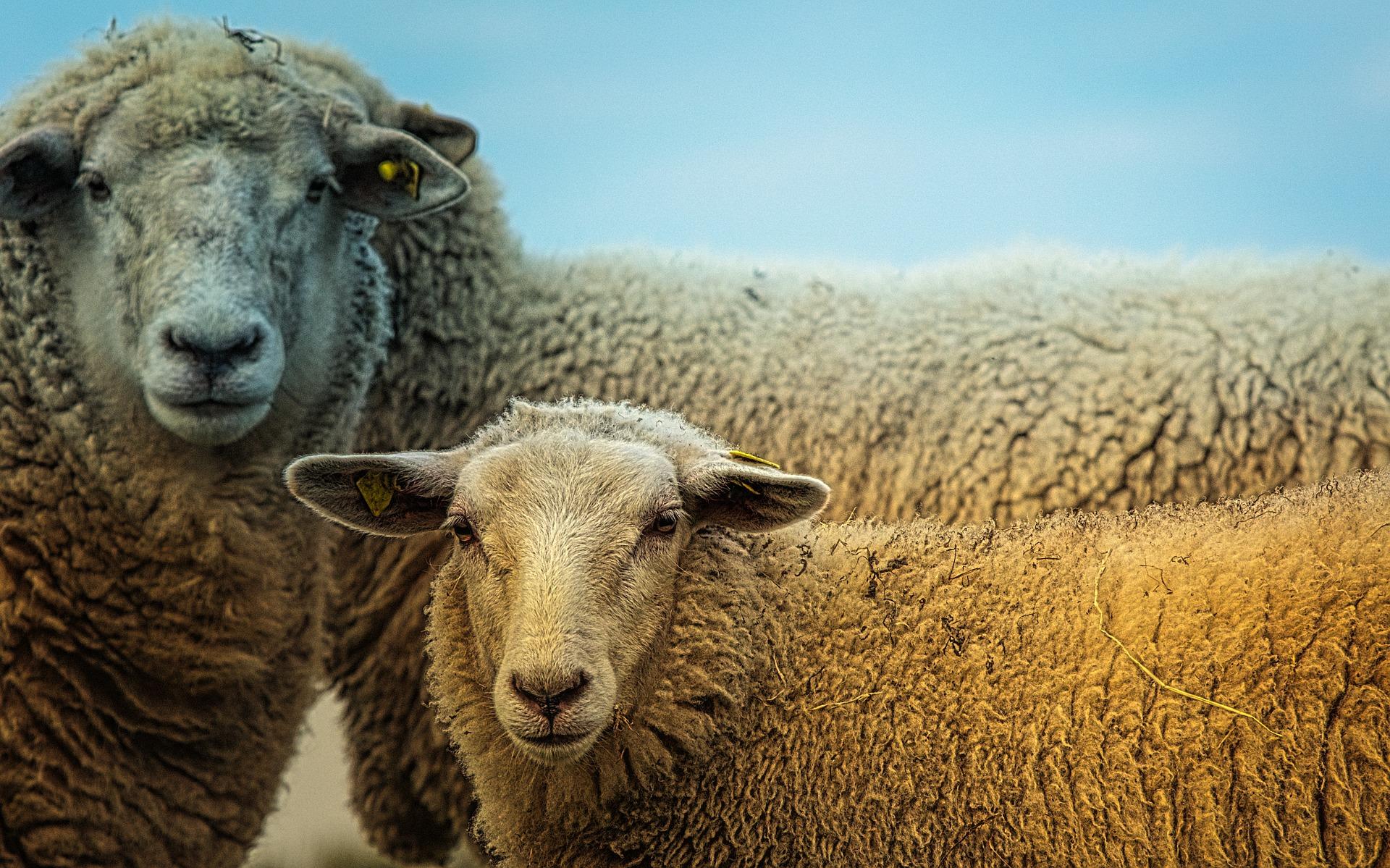 two sheep looking at camera