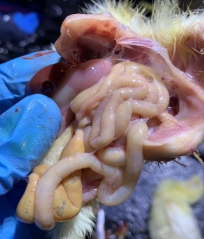Inside of dead chicken from runting and stunting